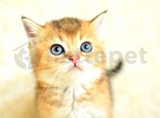 golden tabby british shorthair eğitimli yavrumuz