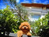 Yavru Patiler'den Erkek Red Toy Poodle Yavrusu