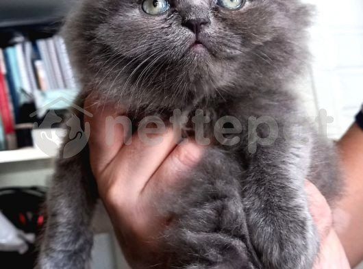 Kalite tesadüf değildir safkan ırk British shorthair blue minoş lar