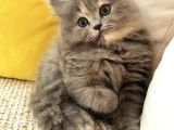 Chinchilla Ve Scotty Karışımı Yavru Kedi