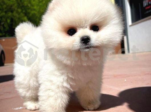 3 Aylık Erkek Kar Beyazı Üst Segment PomeranianBoo Oğlumuz/ İnstagram Pomeranianboodunyasi_