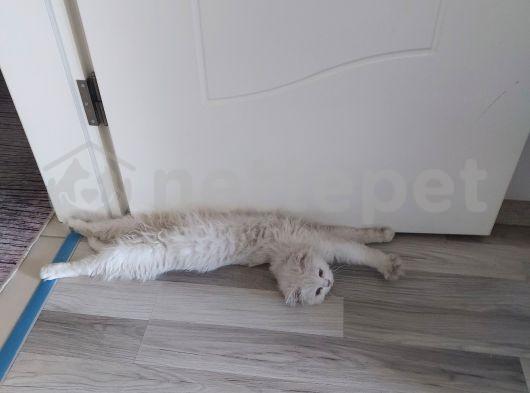 British Longhair mavi gözlü beyaz