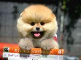 Pomeranian teddyface teacup