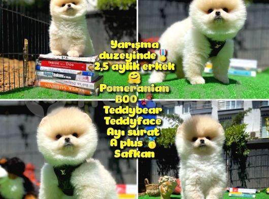 Orjinal Ayı surat Teddybear Boo Pomeranian oğlumuz Teddy @yavrupatiler