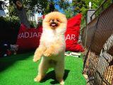 Bayram Neşeniz Pomeranian Boo yavrumuz