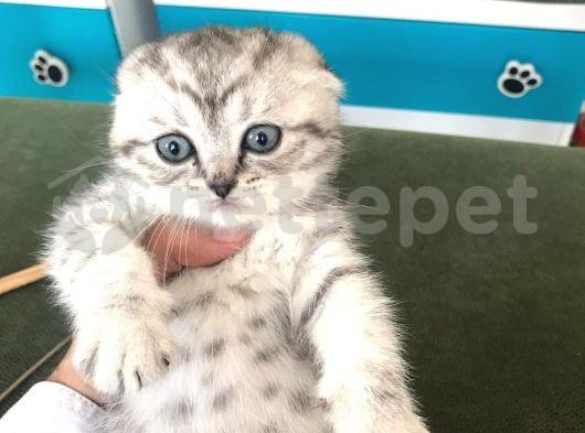 Mükemmel güzellikte Scottish Fold Skin Shaded yavrumuz 2 aylık