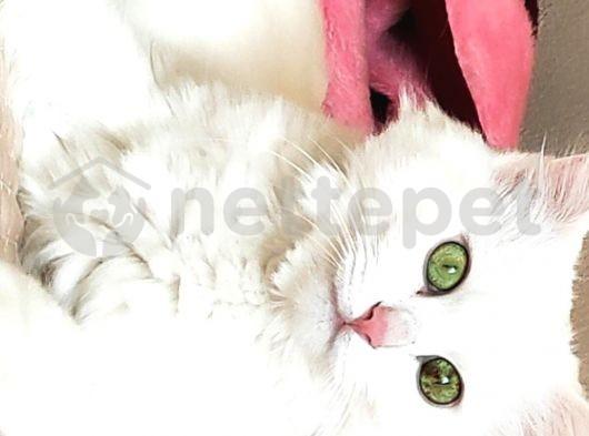 Kısır Ankara kedisi
