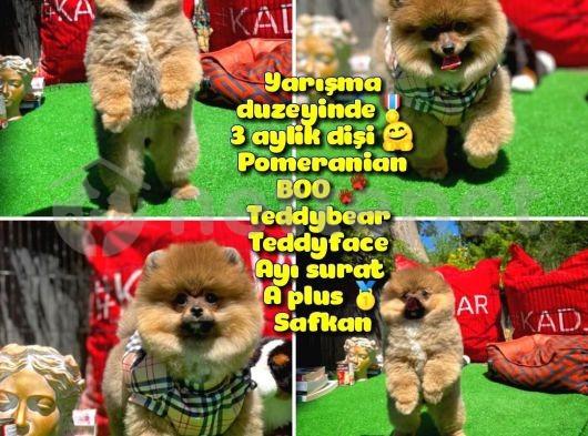 Orjinal Ayı surat Teddybear Boo Pomeranian Kızımız OLLY @yavrupatiler