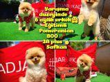A Plus Orjinal Renk Ödül adayı Boo Pomeranian oğlumuz Rich @yavrupatiler