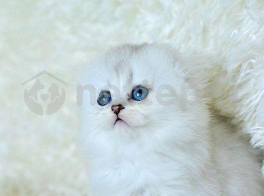 silver scottish fold longhair erkek yavrumuz