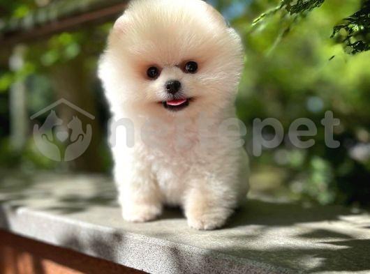 Muhteşem yüz yapısına sahip Pomeranian Boo