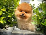 Safkan Turuncu Pomeranian Boo yavrumuz