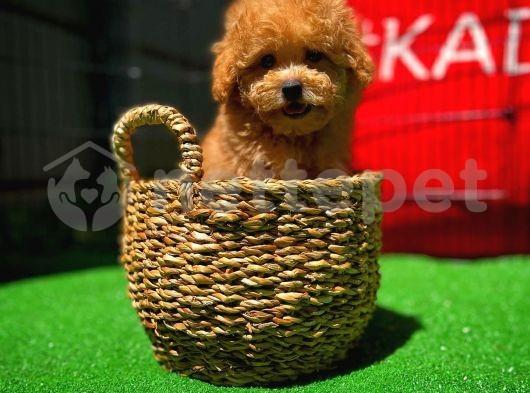 Sevimli Oyuncu Red Toy Poodle yavrumuz