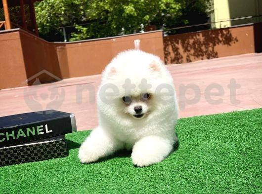 Güzeller güzeli beyaz oyuncu Pomeranian Boo yavrumuz