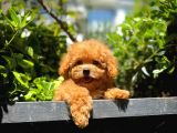 Orjinal En Güzelinden Toy Poodle yavrumuz