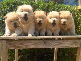 ChowChow yavrularımız