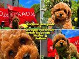 Orjinal renk Safkan Red Brown Toy poodle Oğlumuz Çokolin @yavrupatiler