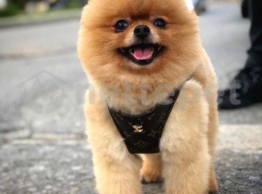 Show kalitede olan teddy bear Pomeranian oğlumuz