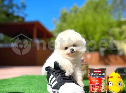 Bayram Şekeri Pomeranian Boo yavrumuz