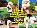 Orjinal Ayı surat Teddybear Boo Pomeranian Oğlumuz COCONUT @yavrupatiler