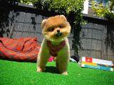 3 Aylık Dişi FCI/SCR Sertifikalı PomeranianBoo Yavrumuz