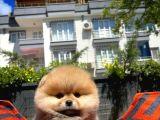 Gold Renk Minyatür Boy PomeranianBoo Oğlumuz