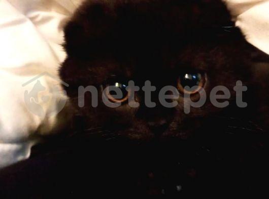 Black scottish Anneden SCR li