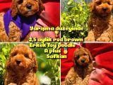 Orjinal renk Safkan Red Brown Toy poodle Oğlumuz Coffe @yavrupatiler
