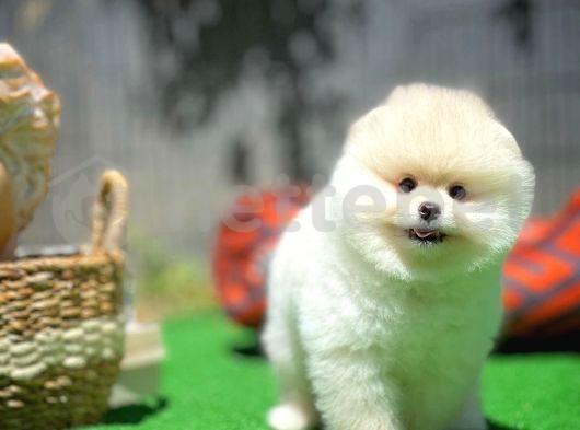 3 Aylık Kar Beyazı TeddyFace Boo Yavrularımızdan