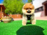 Orijinal Renk TeddyFace PomeranianBoo Oğlumuz