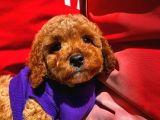 2.5 Aylık Erkek Red Toy Poodle Oğlumuz için İletişime Geçiniz