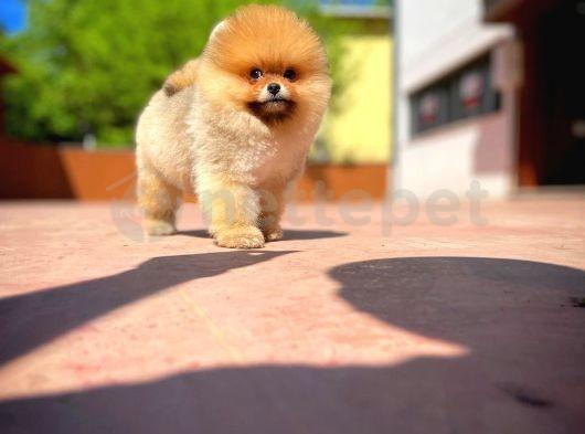 Yeni Gelen MiniBoy TeddyBear PomeranianBoo Yavrularımızdan