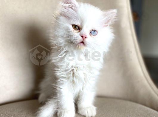 Iran kedisi kendi yavrularimiz
