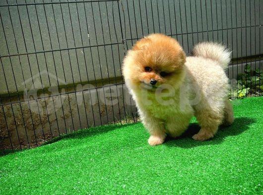 İyi kalite sevimli Pomeranian Boo yavrumuz