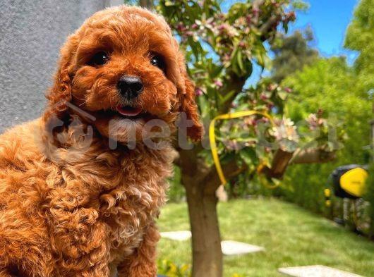 En Güzelinden Zeki Oyuncu Toy Poodle yavrumuz