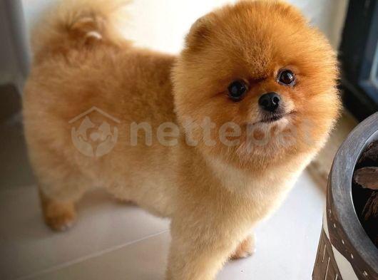 Fcı Secereli Oyuncu Pomeranian Boo yavrumuz