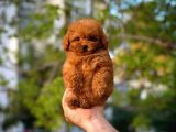 Akıllı Oyuncu Toy Poodle yavrumuz
