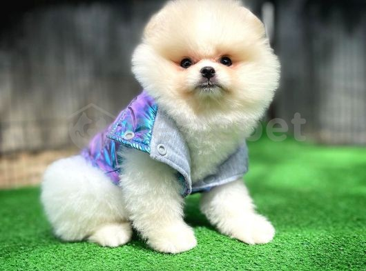 Birbirinden Güzel Pomeranian Boo yavrumuz