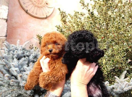 Siyah ve silver mini toy poodle a kalite anne baba 3 kg
