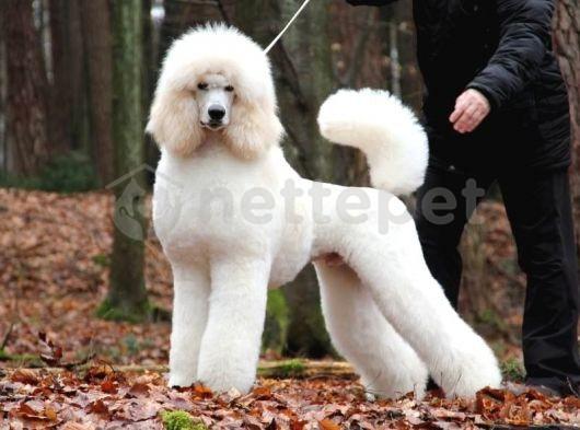 Standart poodle türkiyeninn en nadir ırkı dev yavrular