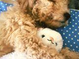Dişi Anne altından sağlık garantili Toy poodle