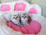 Güzeller güzeli silver british shorthair bebeklerim