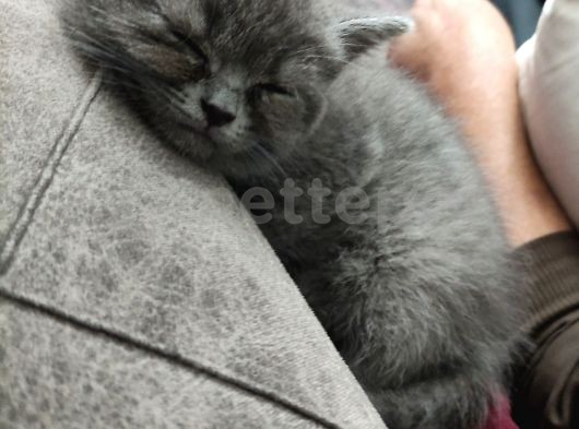 Scotish ve british yavru kediler