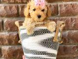Safkan apricot toy poodle yavrular @catboyssss da