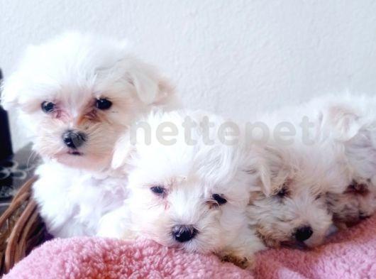 Orjinal ırk garantili Maltese Terrier Yavrular