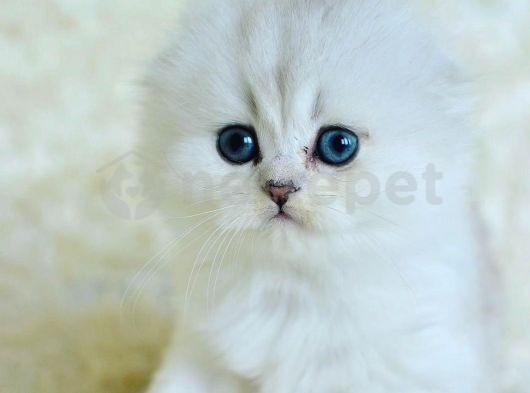 silver shaded scottish fold longhair erkek yavrumuz