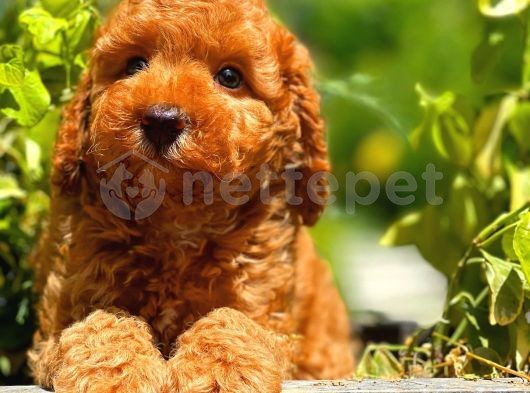 En Sevilen Zeki Enerjik Toy Poodle yavrumuz