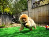 Güzeller içinden Pomeranian Boo Güzeli