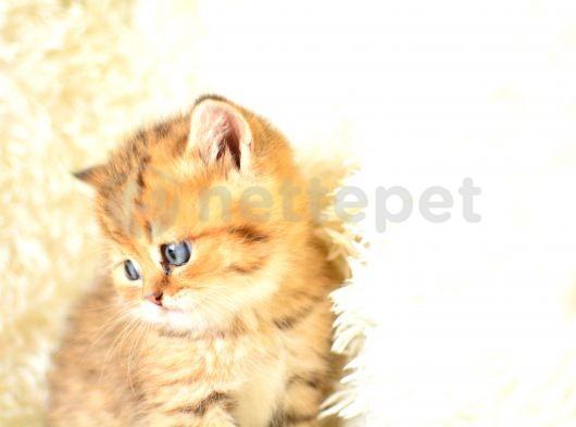 golden tabby british shorthair erkek eğitimli yavrumuz