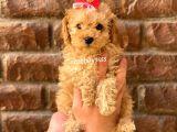 Toy poodle apricot yavrular @catboyssss da